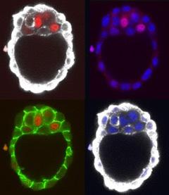 Embryon de souris préimplantatoire